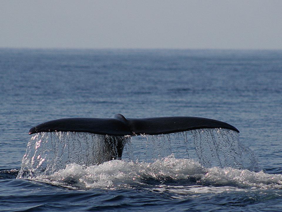 observez baleines et dauphins aux a ores vacances responsables le go t du voyage. Black Bedroom Furniture Sets. Home Design Ideas