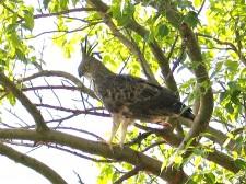 Aigle huppé du Kerala