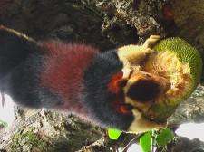 Ecureuil géant du Malabar