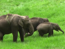 Famille d'éléphants d'Asie