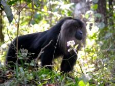 Macaque à crinière de lion