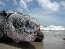 Tête de tortue Luth sur une plage de Trinidad