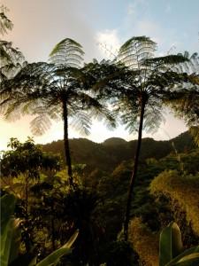 Fougères géantes de Martinique