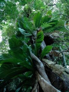 Plantes épiphytes sur le Gros Piton
