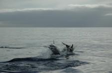 Un couple de dauphin nous quitte