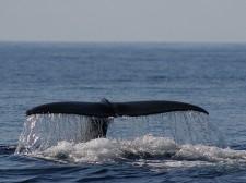 Nageoire caudale de grand cachalot en mer