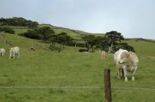 Des vaches paissent sur les flancs du volcan
