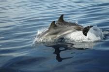 Dauphins nageant près du zodiac