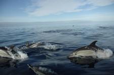 Un groupe de dauphins accompagne le zodiac