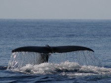 Et bien sûr des baleines: ici la nageoire caudale d'un grand cachalot