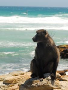 Babouin du Cap méditant au bord de l'océan
