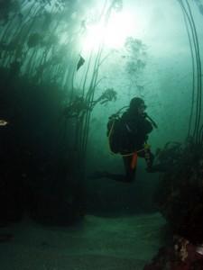 Plongée dans les forêts marine de varech à la recherche du requin griset