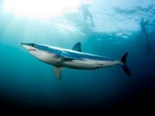 Plongée en haute mer et rencontre avec le requin Mako