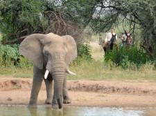 Approche de l'éléphant au Botswana