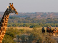 Rencontre de taille avec une girafe au Botswana