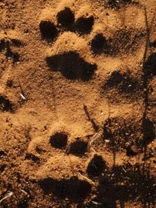 Sur les traces d'un »gros chat«