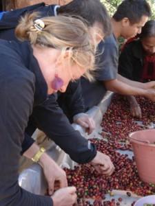 Tri des cerises de café