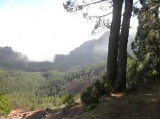 Forêt de pins dans la brume du volcan Teide