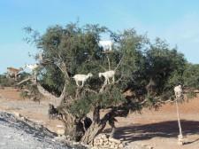 Chèvres suspendues dans un arganier