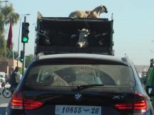 Scène de circulation à Marrakech