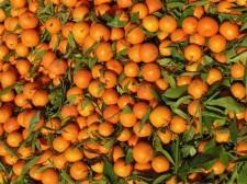 Vendeur de mandarines au souk
