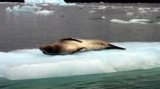 Un phoque tigre de l'île de Chiloé fait la sieste au soleil (Chili)
