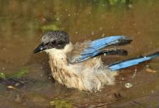 Une pie bleue à la baignade