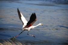 Un flamant rose décolle de la lagune