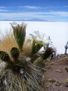 Cactus en fleur dans le Salar