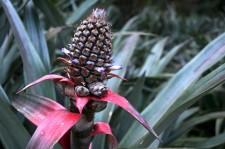 Un ananas en fleur