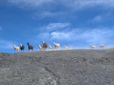 Un troupeau de lamas dans la montagne
