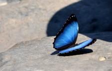 Extension Rafting– Un morpho bleu de 20 cm !