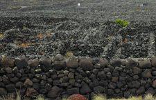 Le vignoble à plat typique, en carrés protégés par des murets, reconnu au patrimoine mondial