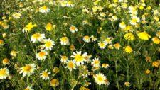 Chrysanthèmes couronnés
