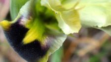 L'iris tubéreux