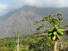 Même des papayes ! Ça reste les Canaries, après tout.