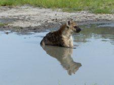 Moment du bain pour cette hyène tachetée