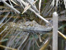 Jeune crocodile en apprentissage dans le nord du delta