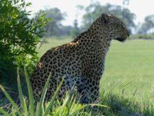 Femelle léopard pensive ou à l'affût ?