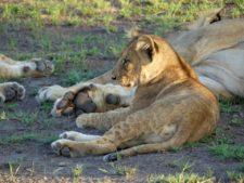 Lionceau rassuré par la troupe dans les plaines asséchées du delta