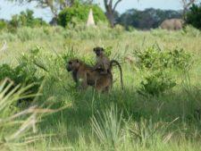 Difficile, la vie d'un petit babouin