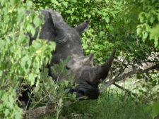 Ce rhinocéros blanc est imposant mais très timide