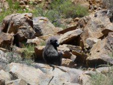 Babouin pensif au détour d'un virage vers le Namib