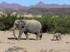 Mère éléphant et son petit d'un mois dans le Damaraland