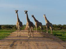 Groupe de girafes faisant front face à un léopard