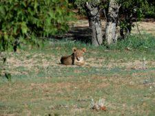 Jeune lion au repos dans la réserve d'Hobatere
