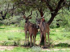 Groupe de jeunes kudus dans la réserve d'Okonjima