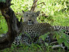 Mère léopard et ses deux petits dans la réserve d'Okonjima