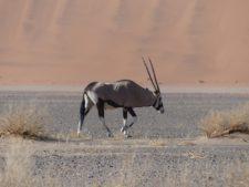 Un oryx près de Sossusvlei et des dunes du Namib